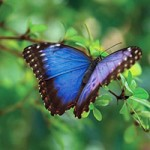 Understanding butterfly wing color